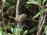 Madagascar Brush Warbler, Ranomafana NP, Madagascar