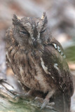 Madagascar Scops Owl, Ankarafantsika NP, Madagascar