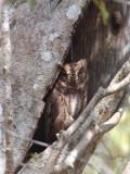Madagascar Scops Owl, Kirindy NP, Madagascar