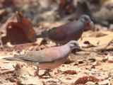 Madagascar Turtle Dove, Ankarafantsika NP, Madagascar