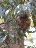 Nest of Schlegel's Asity, Ampijoroa NP, Madagascar