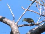 Schlegel's Asity, Ampijoroa NP, Madagascar