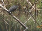 Striated Heron, Andasibe NP, Madagascar