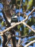 Ward's Flycatcher, Andasibe NP, Madagascar