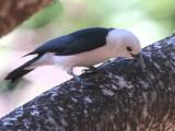 White-headed Vanga, Ankarafantsika NP, Madagascar