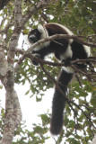 Black-and-white Ruffed Lemur, Mantadia NP, Madagascar