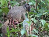 Common Brown Lemur, Andasibe NP, Madagascar
