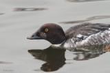 Goldeneye (1st winter male), Hogganfield Loch, Glasgow