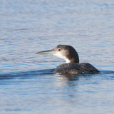 Great Northern Diver, Milarrochy-Loch Lomond, Clyde