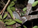 Coquerel's Giant Dwarf Lemur