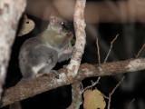 Coquerel's Giant Dwarf Lemur, Kirindy NP, Madagascar