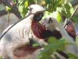 Coquerel's Sifaka, Ankarafantsika NP, Madagascar
