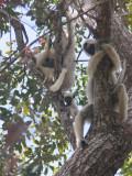 Decken's Sifaka, Tsingy de Bemaraha, Madagascar