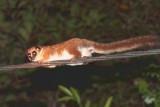 Furry-eared Dwarf Lemur, Andasibe NP, Madagascar