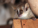 Grey Mouse Lemur, Kirindy NP, Madagascar