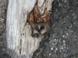 Grey Brown Mouse Lemur