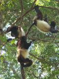 Milne-Edwards's Sifaka, Ranomafana NP, Madagascar