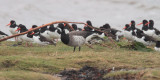 Pale-bellied Brent Goose, Helensburgh, Clyde