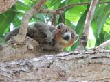 Mongoose Lemur, Katsepy Lighthouse, Madagascar