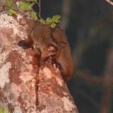 Pale Fork-marked Lemur, Kirindy NP, Madagascar