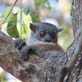 Randrianasolo's Sportive Lemur, Tsingy de Bemaraha, Madagascar