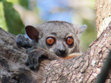 Randrianasolo's Sportive Lemur