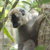 Red-fronted Brown Lemur, Ranomafana NP, Madagascar