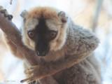 Red-fronted Brown Lemur, Kirindy NP, Madagascar