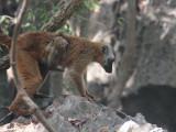 Red-fronted Brown Lemur, Tsingy de Bemaraha, Madagascar