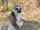 Ring-tailed Lemur, Anja Community Reserve, Madagascar