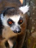 Ring-tailed Lemur, Isalo NP, Madagascar