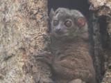 Weasel Sportive Lemur, Mantadia NP, Madagascar