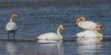 Whooper Swan, Crom Mhin Bay-Loch Lomond NNR, Clyde