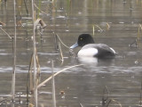 Lesser Scaup, Leperstone Reservoir, Clyde