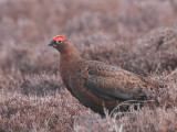 Red Grouse, Lowther Hill, Clyde