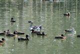 Knob-billed Duck (male), Lake Alarobia-Antananarivo, Madagascar