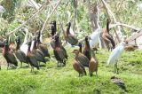 Fulvous Whistling Duck, Lake Alarobia-Antananarivo, Madagascar