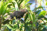Lesser Vasa Parrot, Andasibe NP, Madagascar