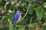 Madagascar Kingfisher, Ifaty, Madagascar