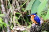 Madagascar Kingfisher, Andasibe NP, Madagascar