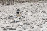 Madagascar (or Black-banded) Plover, near Ifaty, Madagascar