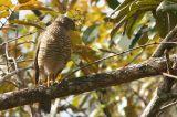 Madagascar Sparrowhawk, Mantadia NP, Madagascar