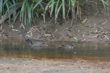 Meller's Duck, Ranomafana NP, Madagascar