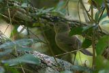 Madagascar Brush-Warbler, near Antananarivo, Madagascar