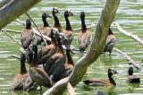 White-faced Whistling-Duck, Lake Alarobia-Antananarivo, Madagascar