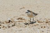 White-fronted Plover, near Ifaty, Madagascar