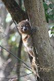 Hubbard's Sportive Lemur, Zombitse NP, Madagascar