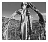 Withered Saguaro