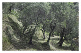 Terraced Olive trees