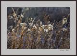 Weed seed , Prairie Pawnee Park